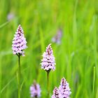 SPOTTED ORCHID by Stephen J  Dowdell
