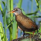 Virginia Rail Catching Some Rays by Bill McMullen