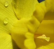 Deepest Yellow of a daffodil flower by Barbara McIntyre