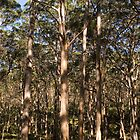 Karri Forest 1 by Leonie Mac Lean