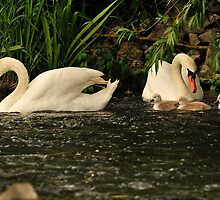 Cygnets On Parade  by delros