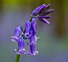 Bluebells  by Ulla Jensen