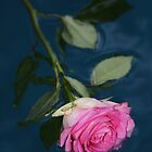 Floating Pink Rose by daphsam