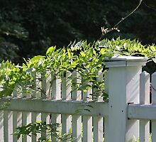 White picket fence being kissed by the sun by daphsam