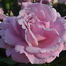 Pink Rose by Eileen Brymer