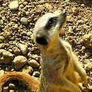 Sentry Duty-Meerkat look out by Eileen O'Rourke