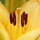 Stamens of a yellow Day Lily by kellimays