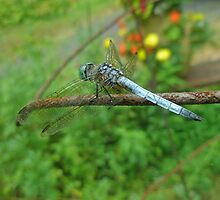Blue Dasher Dragonfly - Pachydiplax longipennis by MotherNature