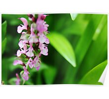 Beautiful pink salvia surrounded by leaves Poster