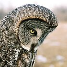 Great Grey Owl (Strix nebulosa) by Marty Samis
