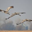 Sandhill Crane Trio by Linda Trine