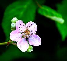 Blackberry Bloom by Diego  Re