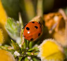 Ladybird in gorse-bush ~ Scotland UK by slidewarrior