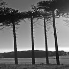 Monkey Puzzles trees by sarnia2