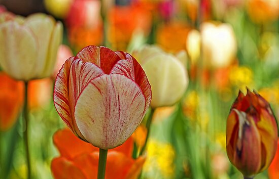 Soft Tulips by Aase