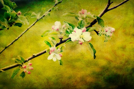 apple blossoms by duettwerk
