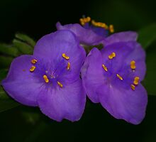 Spiderwort by Brent McMurry