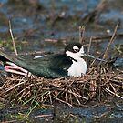 Black-Necked Stilt on Nest by Michael Mill