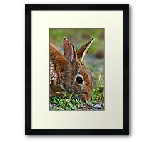 Eastern Cottontail Rabbit Framed Print