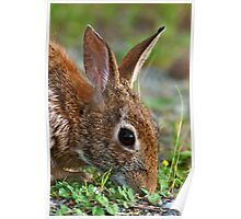 Eastern Cottontail Rabbit Poster