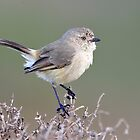 Slender-billed Thornbill - New Beach - Carnarvon. by Alwyn Simple