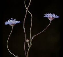 Cornflower Blue by geoff curtis