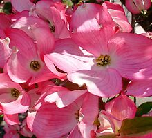 Pink Dogwood by AnnDixon