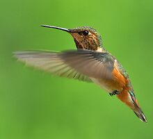 Rufous Hummingbird by Carl Olsen