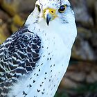 Peregrine Falcon II by vivsworld