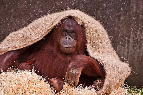 Orangutan by AttiPhotography