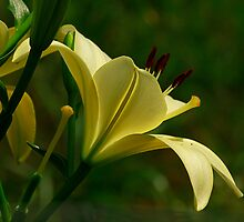 A Lily A Day by Brenda Burnett