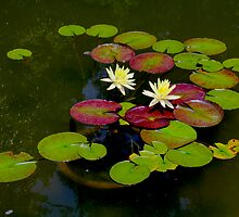 Pond Lilies By Jonathan Green by Jonathan  Green