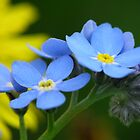 Forget Me Not by perpetualphoto