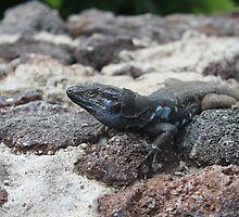 black and blue lizard in tenerife by Jodie  Davison