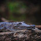 Cape York Crocodile 002 by Brett Straughan