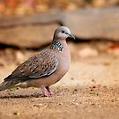 Spotted Turtle Dove by Christopher Cole