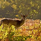 Deer in the woods by barry jones