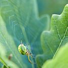 Green spider by Yves Roumazeilles