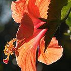 Hibiscus flower, Papua New Guinea by Erik Schlogl