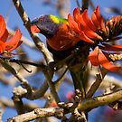 Rainbow Lorikeet by reflector