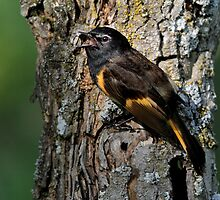 Barking Up The Right Tree / American Redstart by Gary Fairhead