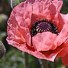 Pink poppy by Jeanne Horak-Druiff