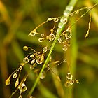 Plant, Wavy Hair grass, Seed heads, raindrops by Hugh McKean