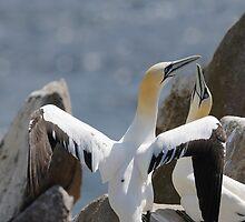 Welcome home, gannets, Saltee Island, County Wexford, Ireland by Andrew Jones