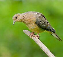 Morning Dove by Wayne Wood