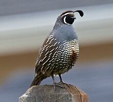 California Quail by c painter