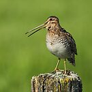 Wilson's Snipe Calling by Bill McMullen
