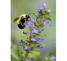 Blue Ajuga -- Bumble Bee Photographic Print