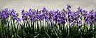 Iris Heaven by KBritt