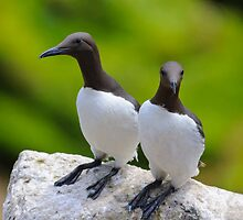 Guillemots, Saltee Island, County Wexford, Ireland by Andrew Jones